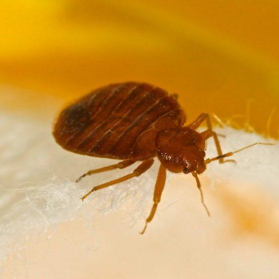 Utah bed bug