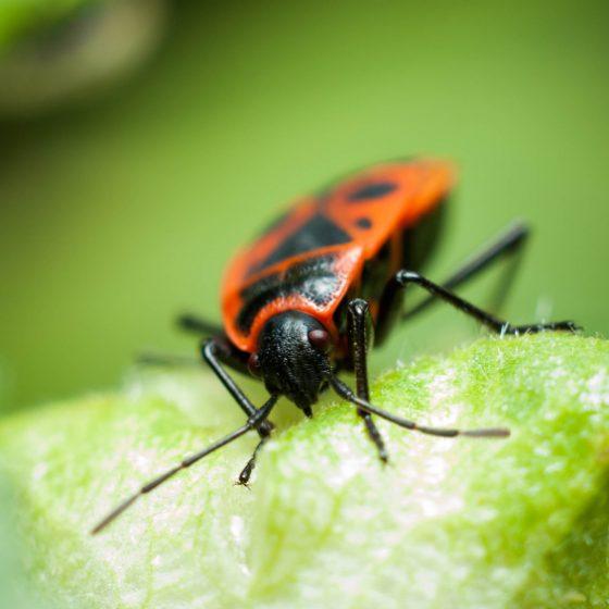 box elder bug Utah