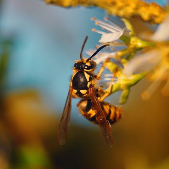 Wasp for Pest Control Utah